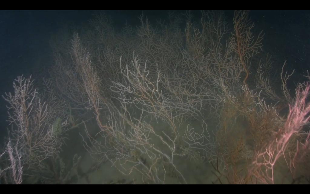 Illa de gorgonies