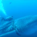 Buzos ayudan a Tiburón Ballena en México